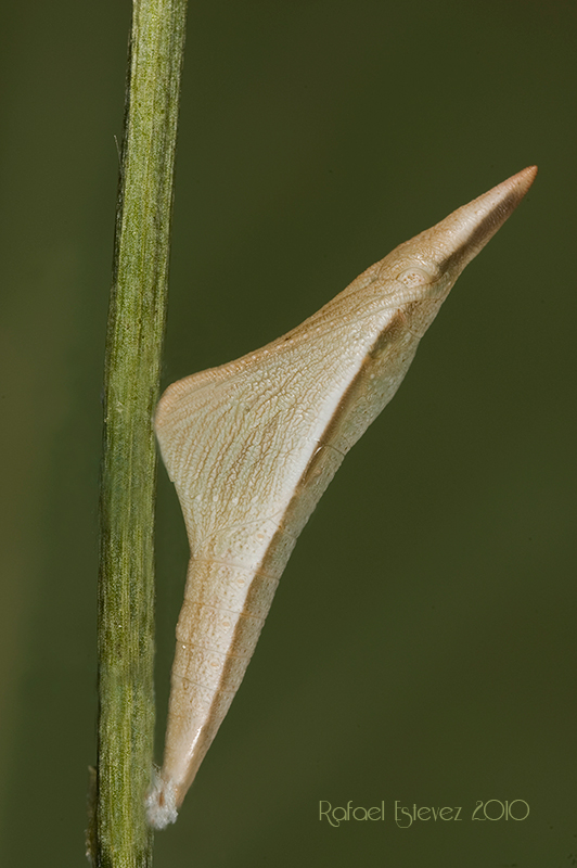 Aeuphenoides-pupa-Visunha Mayo 2010
