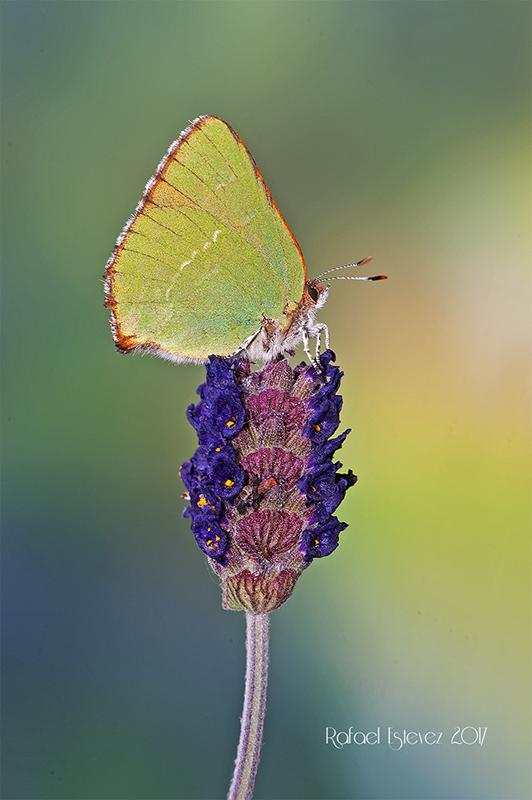 Callophrys avis.- Lastra Abril 2017-m