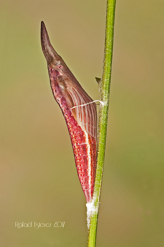 Ecrameri-pupa-oruga anterior-Mayo 2017