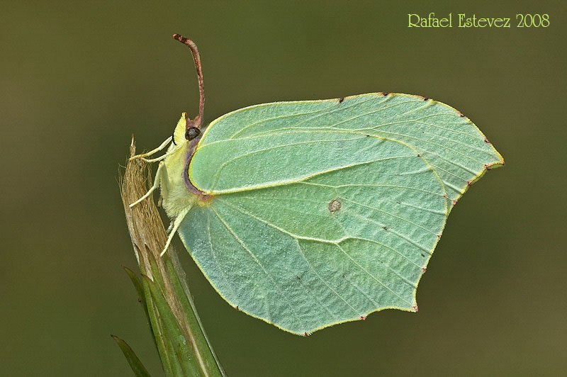 Gonepteryx_rhamni-visunha-courel-072008