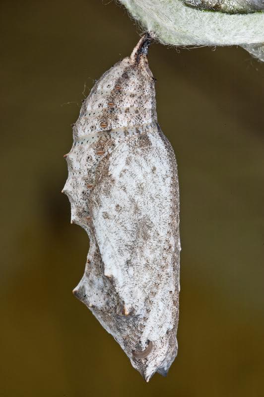 200812tominho-virginiensis-f-gris