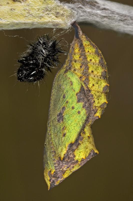200901tominho-virginiensis-f-verde