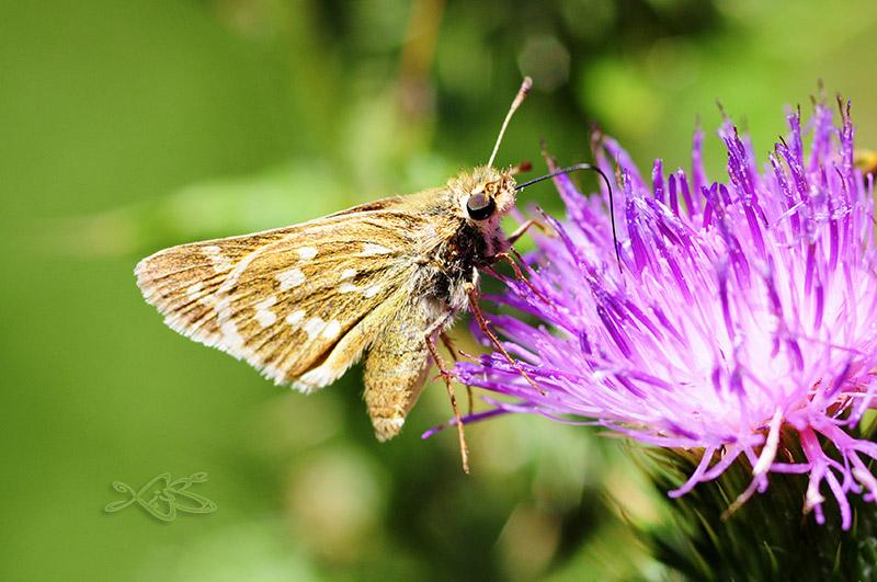 2010-08-28-courel-Hesperia_comma