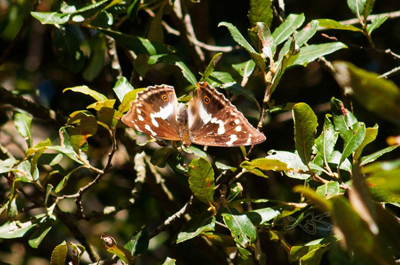 2010-08-29-guitiriz-Apatura_iris-2
