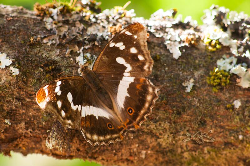 2010-08-29-guitiriz-Apatura_iris-3