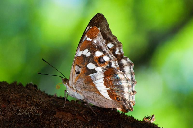 2010-08-29-guitiriz-Apatura_iris