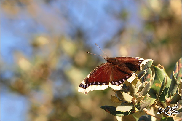 2012-03-22-Nymphalis_antiopa-Monterrei