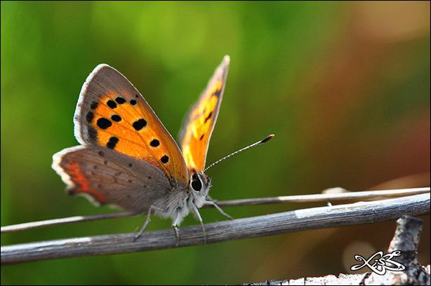 2012-03-23_Lycaena_phlaeas-Verin