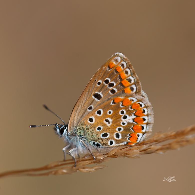 2012-09-16-Guitiriz-Polyommatus_icarus_f