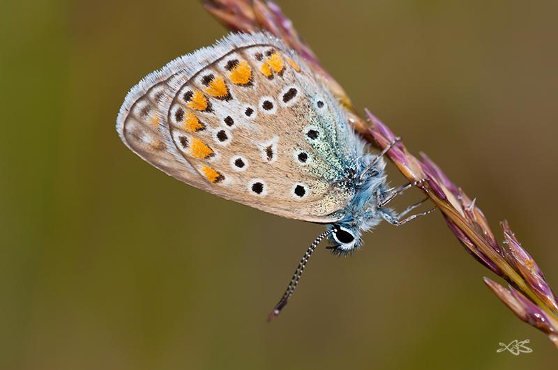 2012-09-16-Guitiriz-Polyommatus_icarus_m