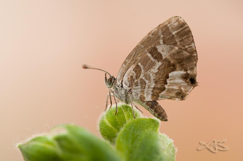 2013-09-24-Verin-Cacyreus_marshalli