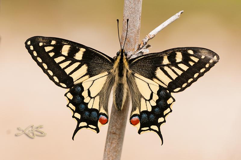 2014-03-29-Rubia_Papilio_machaon-2
