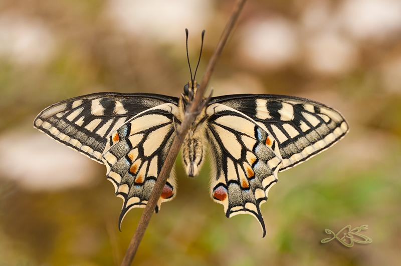 2014-03-29-Rubia_Papilio_machaon