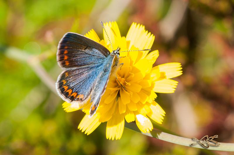 2014-06-22-riocaldo_Polyommatus_icarus-f-azul-f