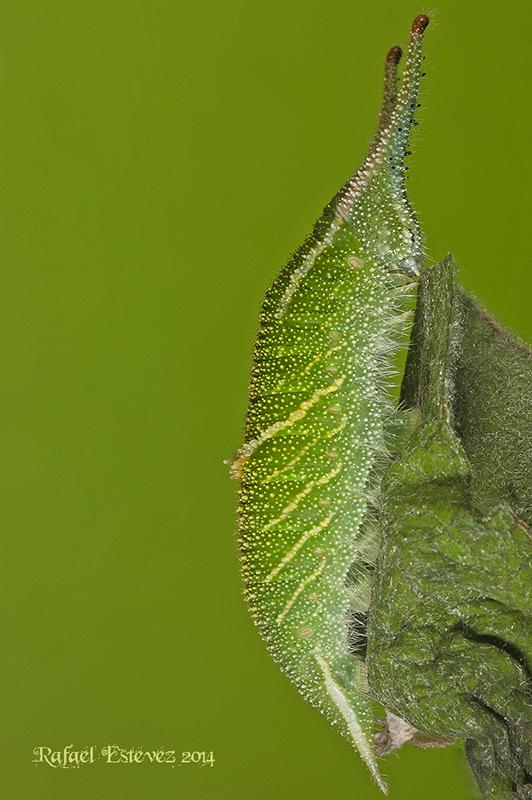 A.iris en fase L3 - Ejemplar recolectado en a Serra do Courel Mayo 2014