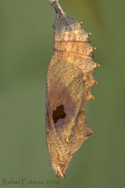 Aurticae parasitada por un taquinido. Foto tomada en Vigo Junio 2010