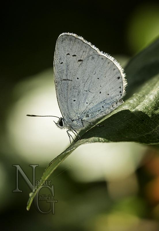 Bolboreta Celastrina argiolus (17)