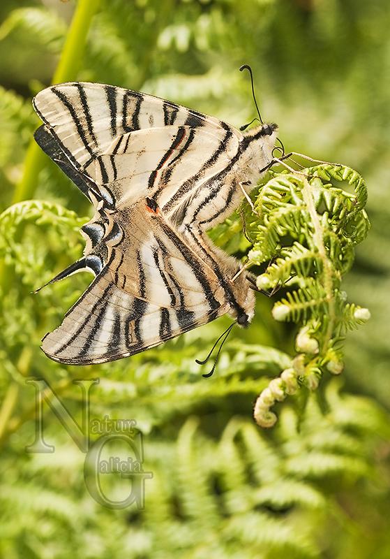 Bolboreta Iphiclides podalirius (37)