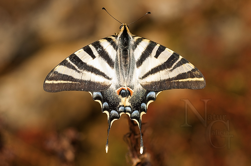 Bolboreta Iphiclides podalirius (47)