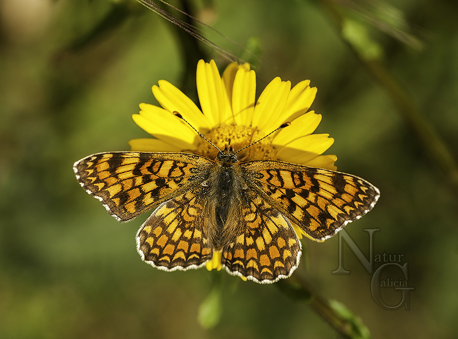 Bolboreta Melitaea phoebe (2) como objeto inteligente-1