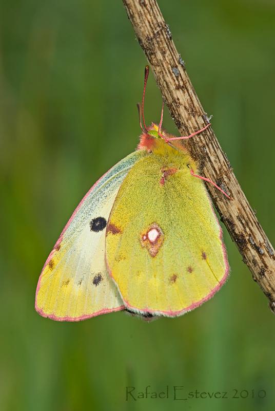 C.crocea f.helice - Vincios (Po.) - Mayo 2010
