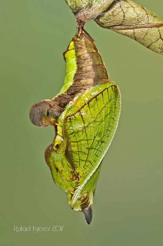 Lcamilla-pupa