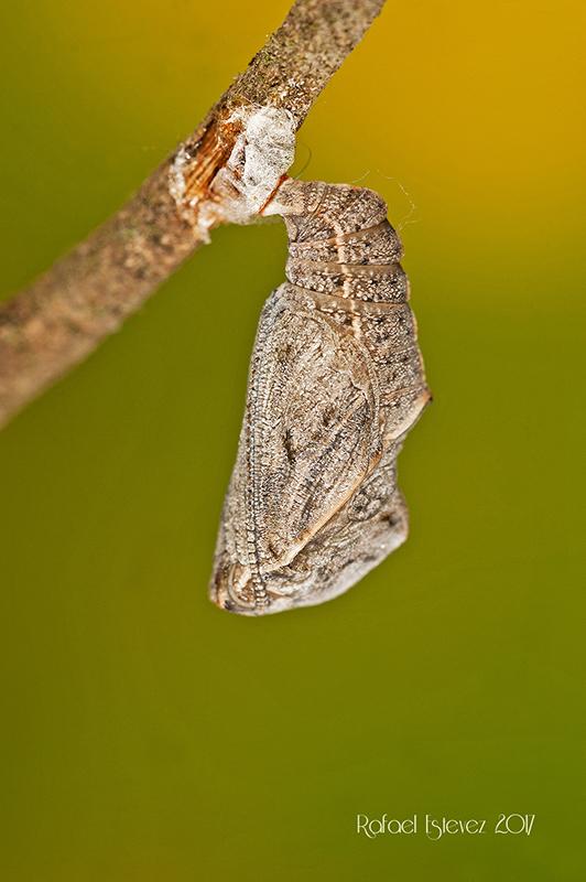 Lceltis-pupa-madura-1a