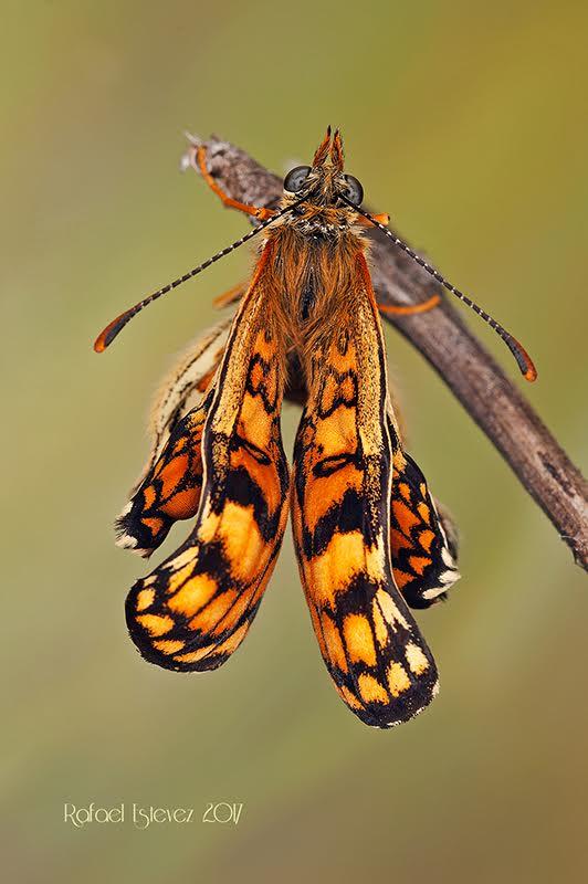 M.nevadensis. Foto tomada en Mayo 2017-