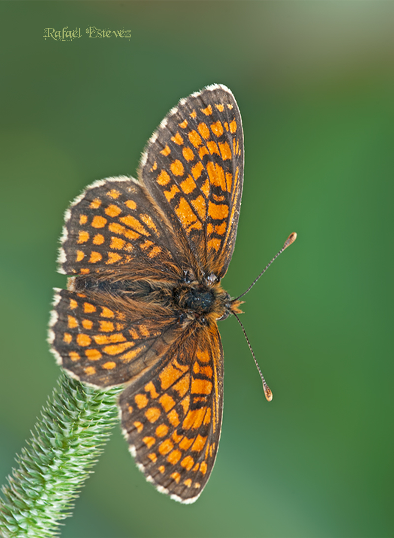 M.parthenoides - Piornedo (Ancares) 12.07.2010-1