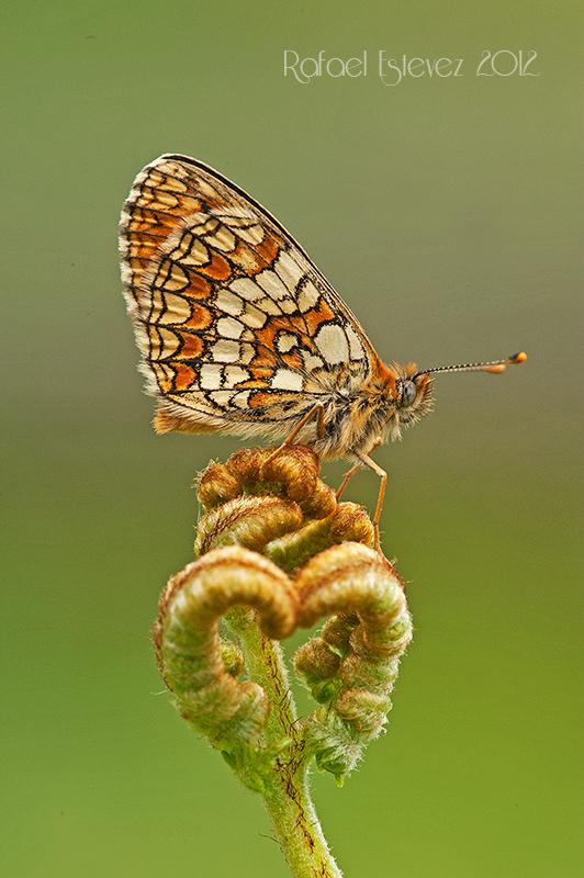 Mparthenoides-Cruz de Outeiro - Serra do Courel (Lugo) junio 2012