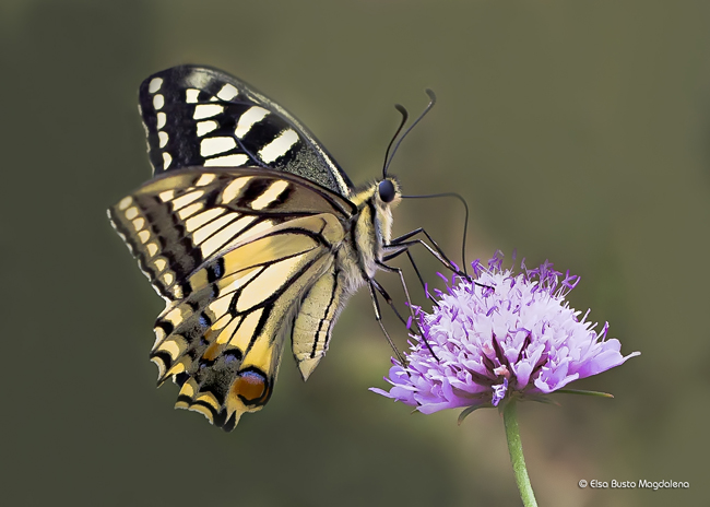 Papilio machaon , serra da enciña da lastra 22-6-2014