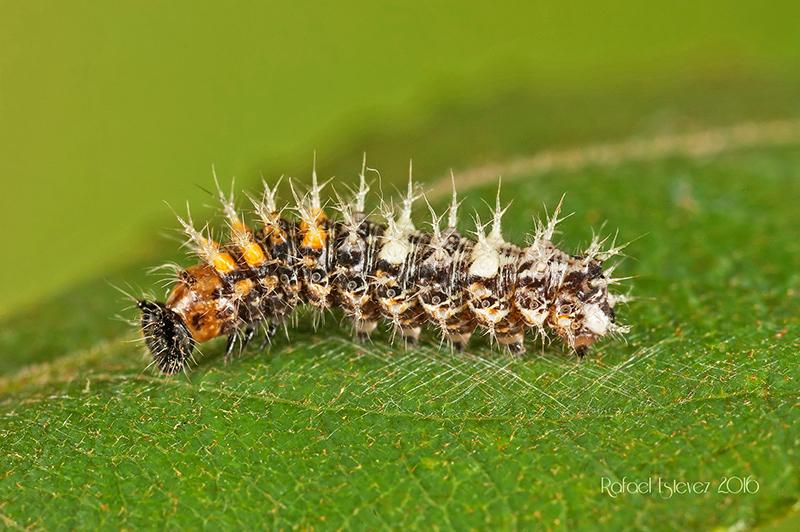 Pcalbum-larvaL3