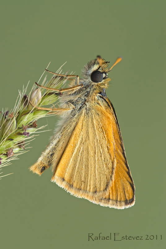 Thymelicus lineola - Serra do Eixe- Junio 2011