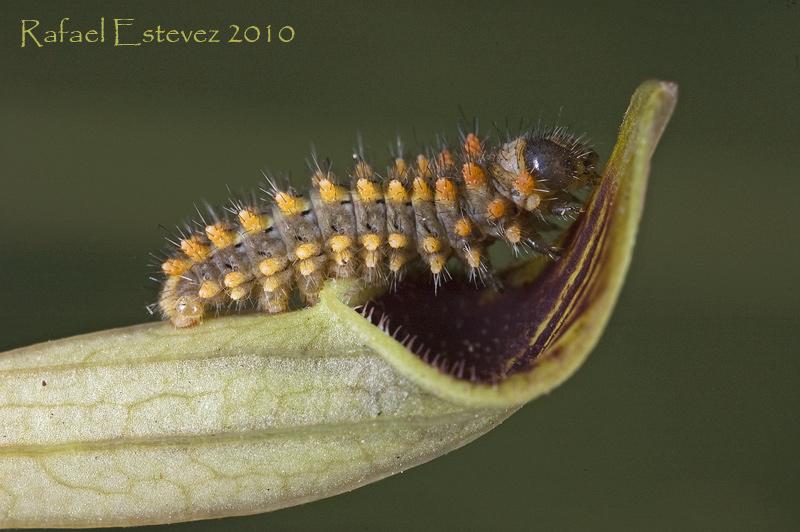 Z.rumina (larva) L1 - Tomiño (Po.) Mayo 2010