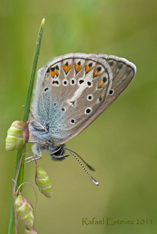 aricia-eumedon-courel-052011