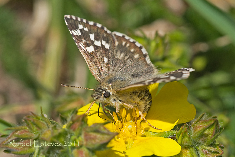pyrgus_armoricanus-trevinca-072011