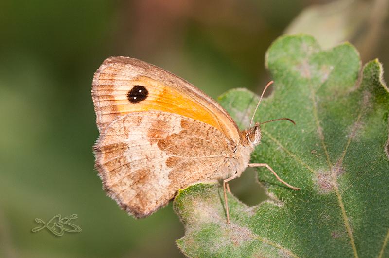 2014-08-30-progo_Pyronia_cecilia