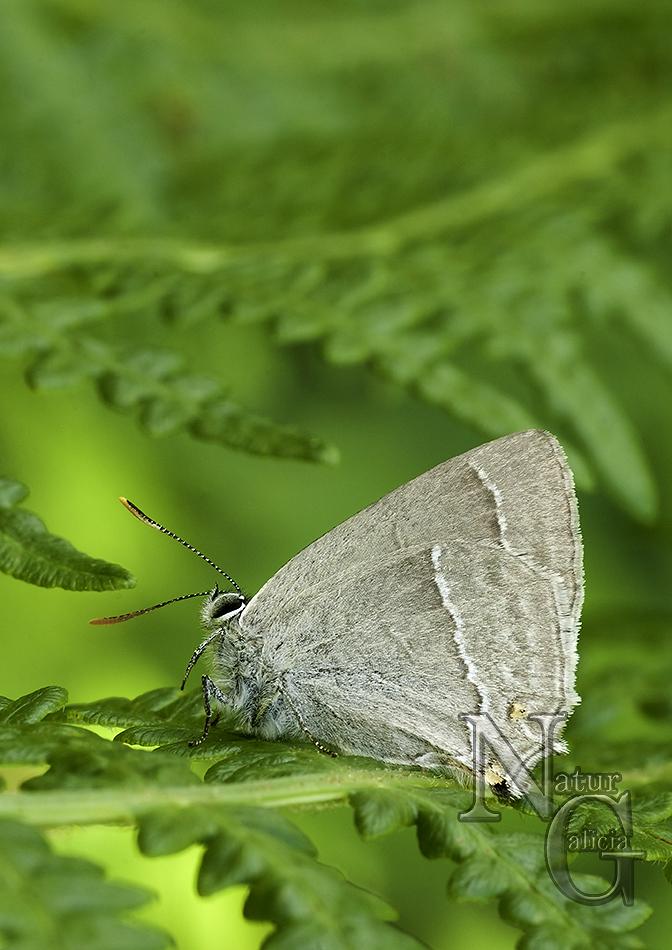 Bolboreta Neozephirus quercus (3)