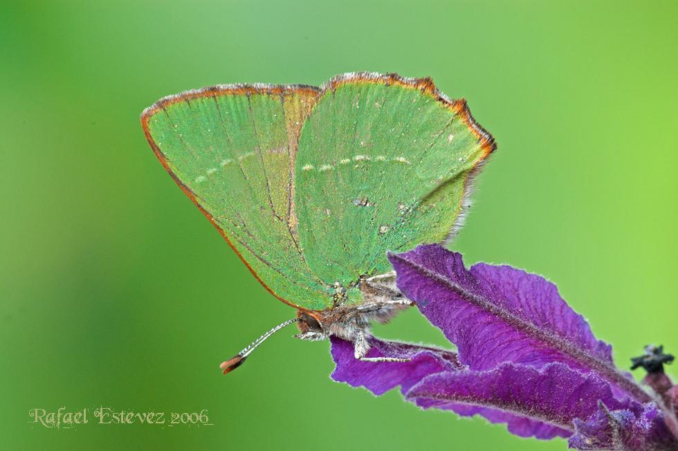 Callophrys avis_A Salgueira032006.