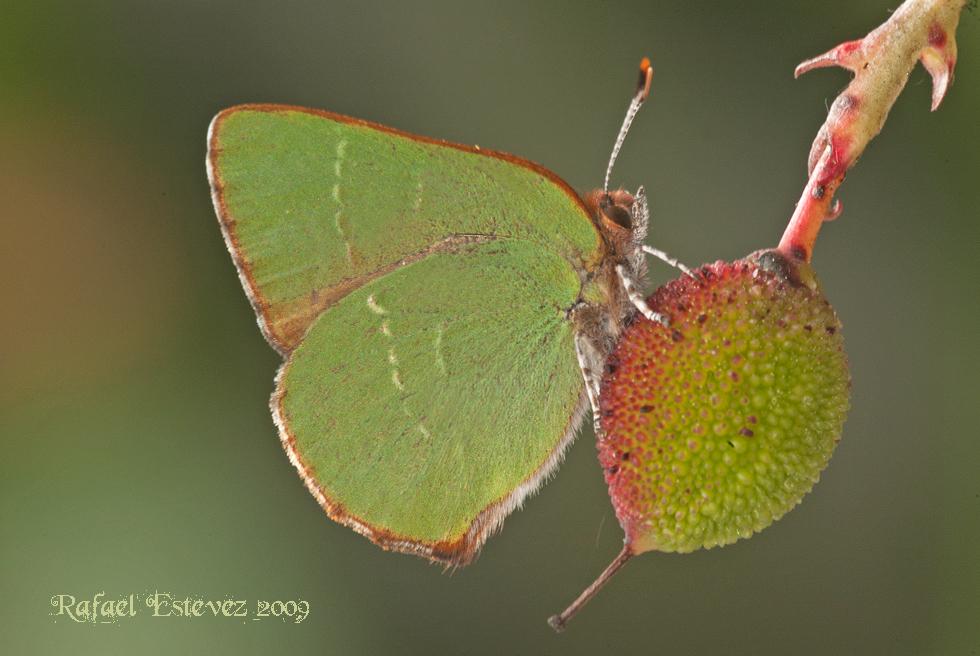 Callophrys_avis_Xures_042009