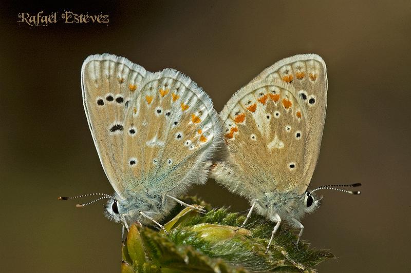 P.dorylas (copula) Visuña - 07.06.2008-1