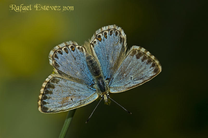 Polyommatus coridon_syngraphoides-Courel-082011