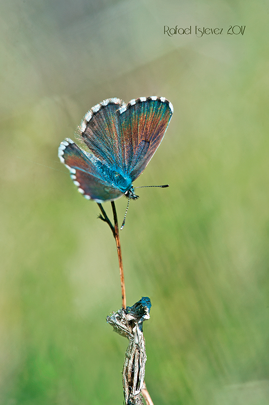 Ppanoptes-pardollan-maio2017-f