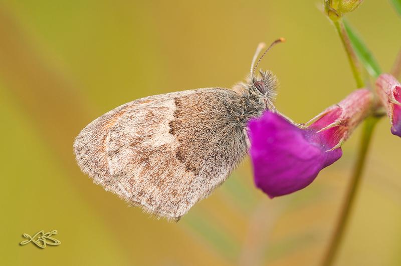 Coenonympha-pamphilus-2013-06-11_barxa_