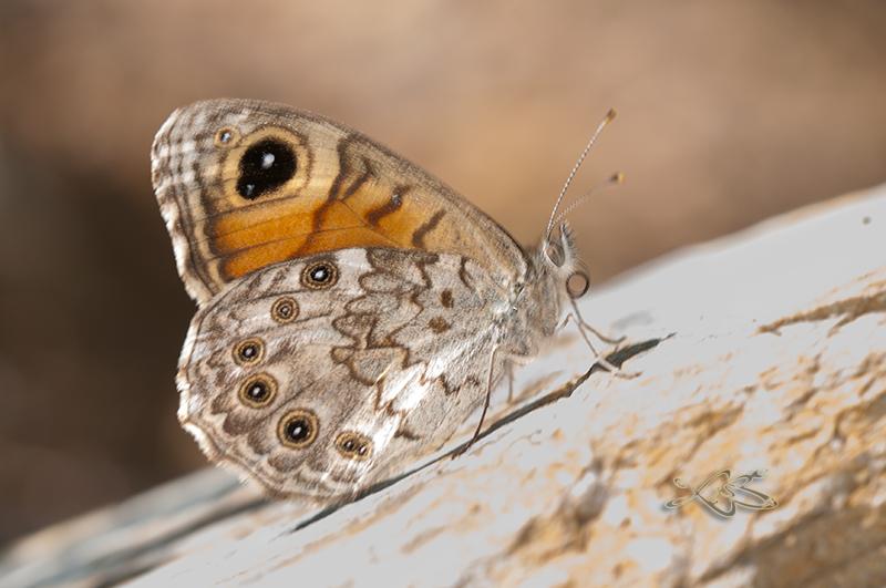 Lasiommata_maera-2014-07-07-foxo_