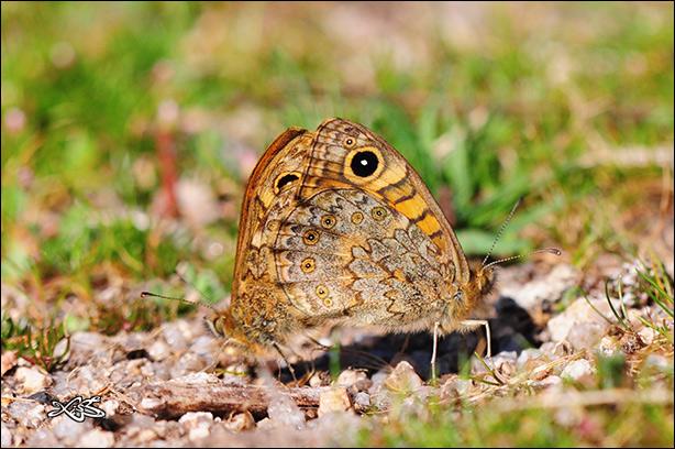 Lasiommata_megera-2012-03-11_Verin