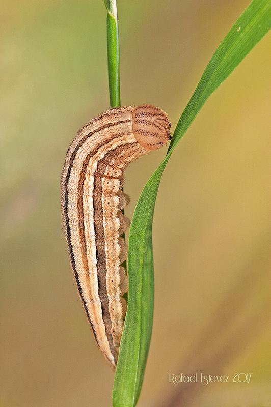 Aarethusa L5