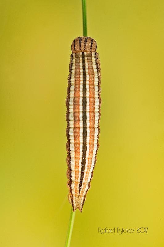 Arethusana arethusa en fase L3 - Recolectada en Cabeza de Manzaneda (Ourense) Mayo 2017
