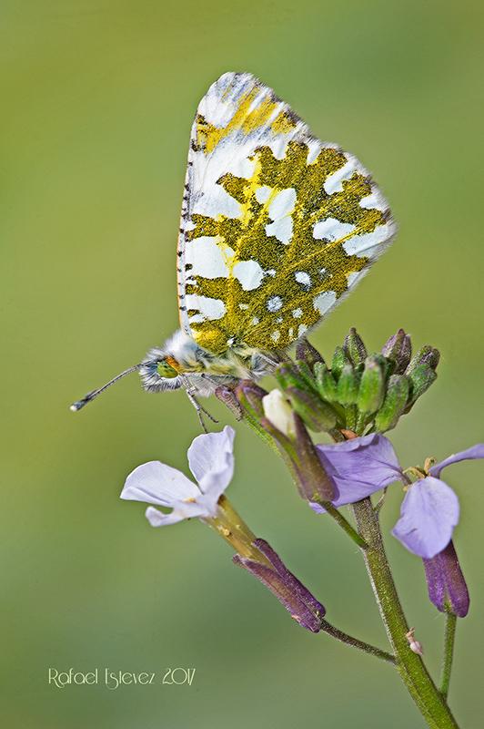 E.simplonia fotografiados en o Alto do Couto - Serra do Courel (Lugo) junio 2017-1
