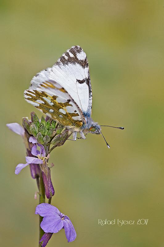 E.simplonia fotografiados en o Alto do Couto - Serra do Courel (Lugo) junio 2017-2